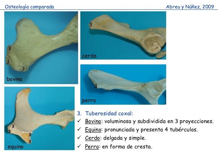 Huesos miembro pelvico comparado