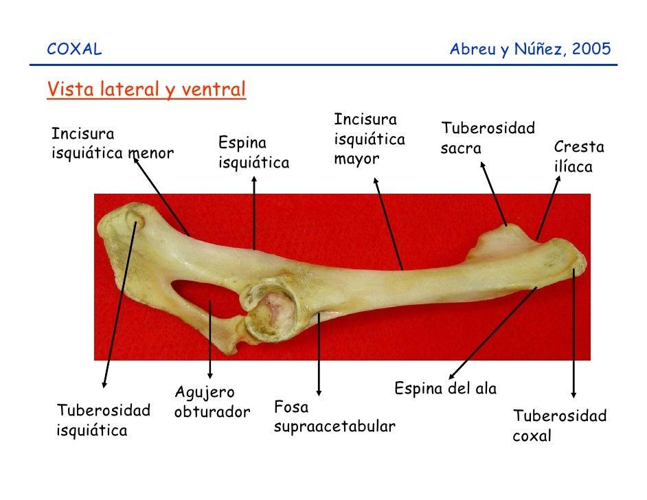 Huesos miembro posterior del caprino