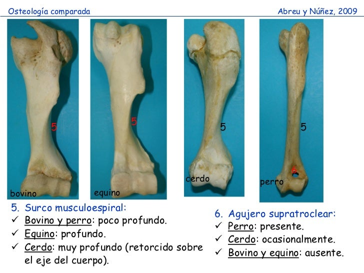 Huesos miembro toracico comparado (2)