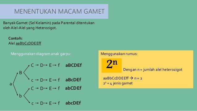 Hukum mendel pola pewarisan sifat 9 menentukan macam gamet menggunakan diagram anak garpu ccuart Choice Image