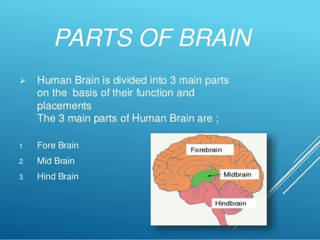The Human Brain, Its Parts and Functions