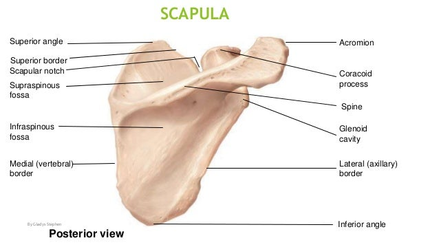 how to find the spine of scapula