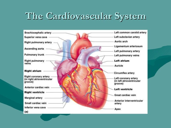 Human anatomy and physiology the cardiovascular system 1