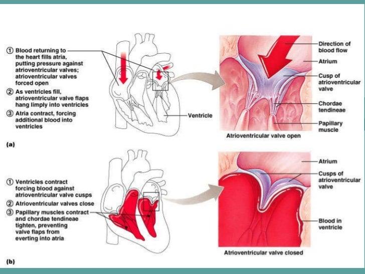 Human anatomy cardiovascular system