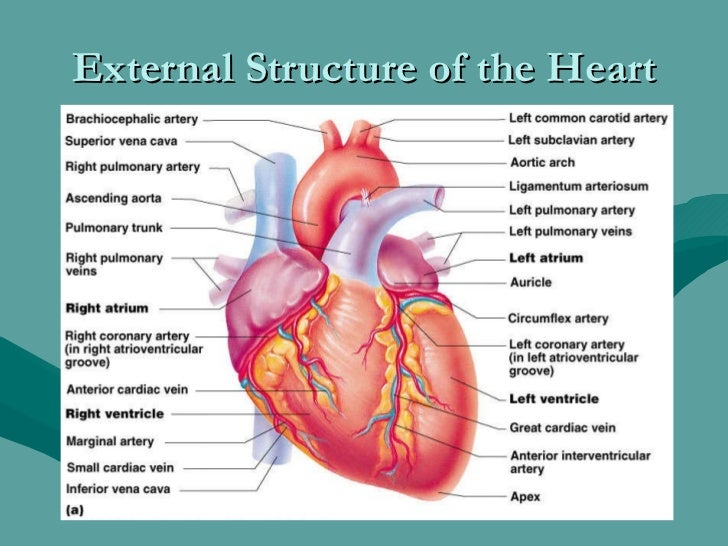 External Anatomy Of The Heart Images - human body anatomy