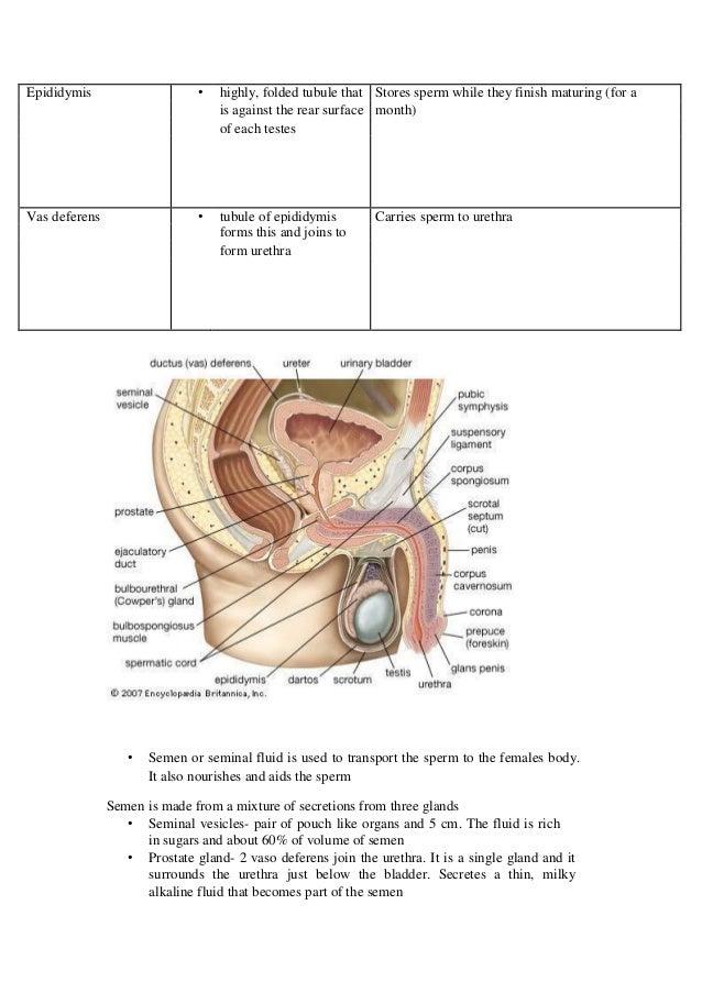 Human Biology3a3b Reproduction