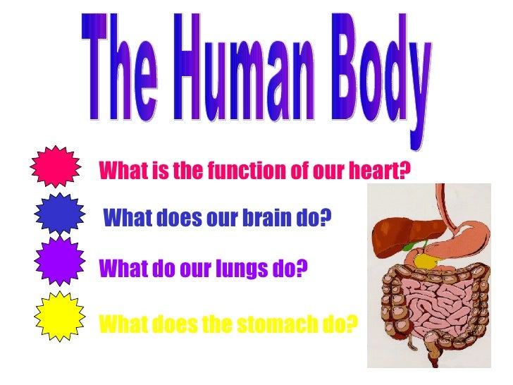 The Human Body What is the function of our heart? What does our brain do? What do our lungs do? What does the stomach do?