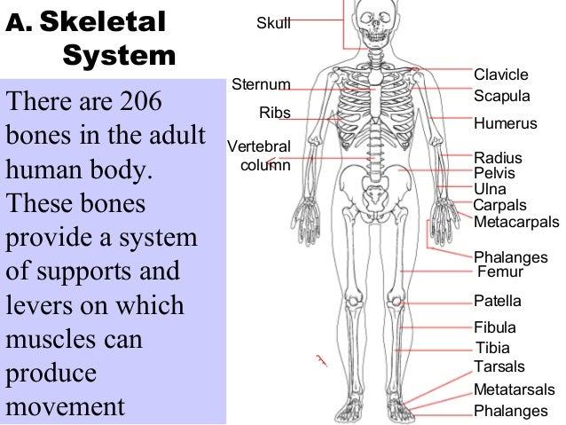 location of fibula in human body