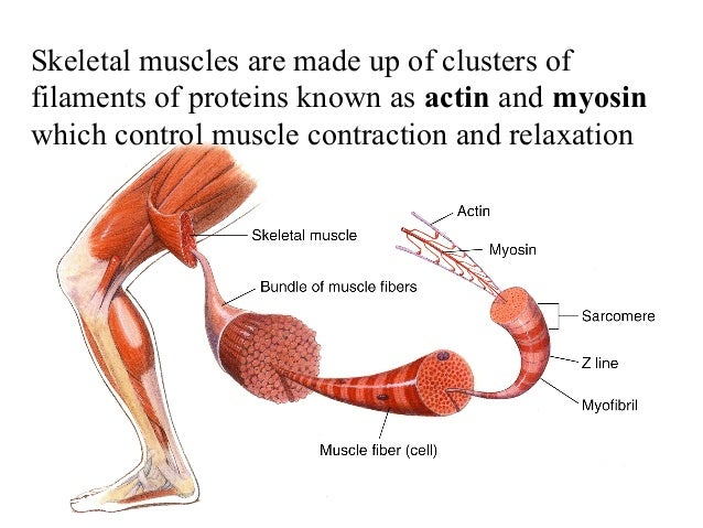 human muscle is made up of – lickclick, Skeleton