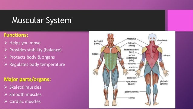 Parts Of The Muscular System 39