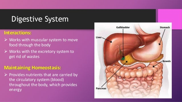 Human Body Systems Booklet Review besides Human Muscles Diagram in addition Sistema Circulatorio together with Animals With Closed Circulatory Systems together with Innere Organe Mensch Schaubild. on human circulatory system