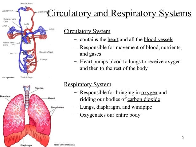The digestive respiratory and cardiovascular system