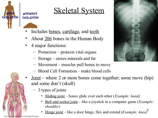 human body systems ppt, Skeleton