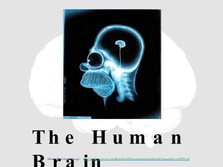 The Human Brain Master Watermark Image:  http://williamcalvin.com/BrainForAllSeasons/img/bonoboLH-humanLH-viaTWD.gif