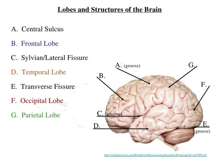 Human brain diagram with name electrical drawing wiring diagram human brain rh slideshare net simple brain diagram human brain clip art ccuart Gallery
