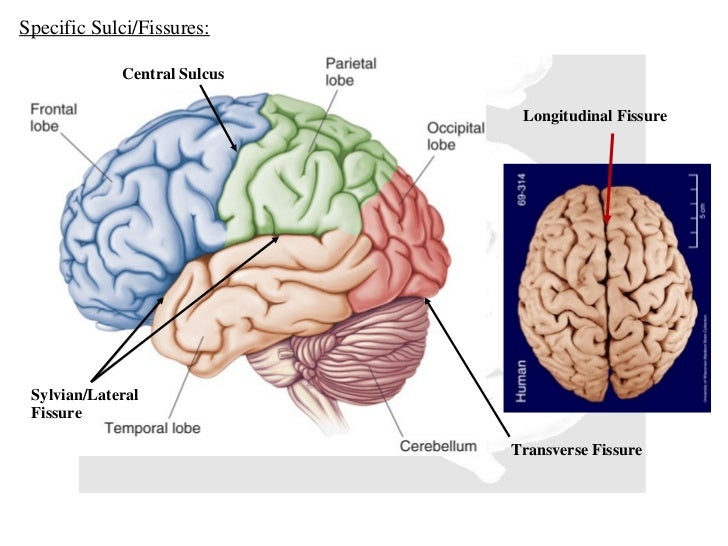 Human brain ccuart Image collections
