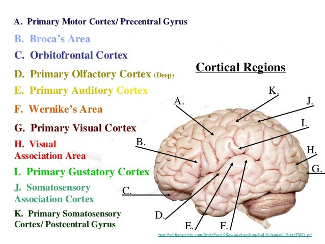 Anatomy of human brain cortical regions a b c d e f g h i j k a primary ccuart Images