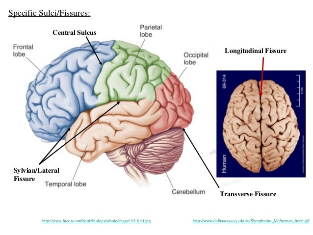 Anatomy of human brain ccuart Images