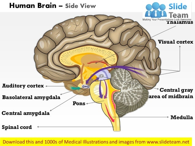 Human brain side view medical images for power point human brain side view auditory cortex basolateral amygdala central amygdala pons spinal cord medulla central ccuart Choice Image