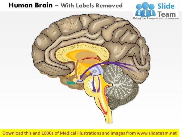 Side View Of Human Brain Diagram - House Wiring Diagram Symbols •