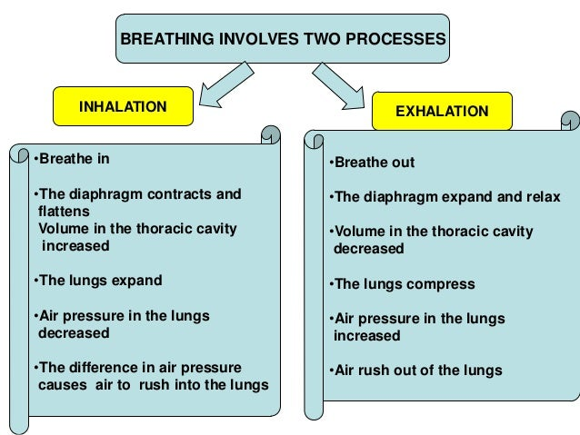 the breathing process Anatomy of breathing teacher handout the young scientist program can change the breathing process short lecture with pictures and videos about lung anatomy.
