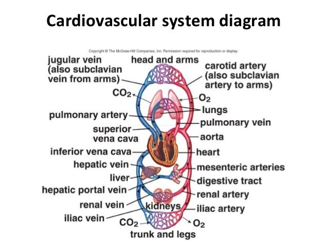 Cardiovascular System Diagram Trusted Wiring Diagrams