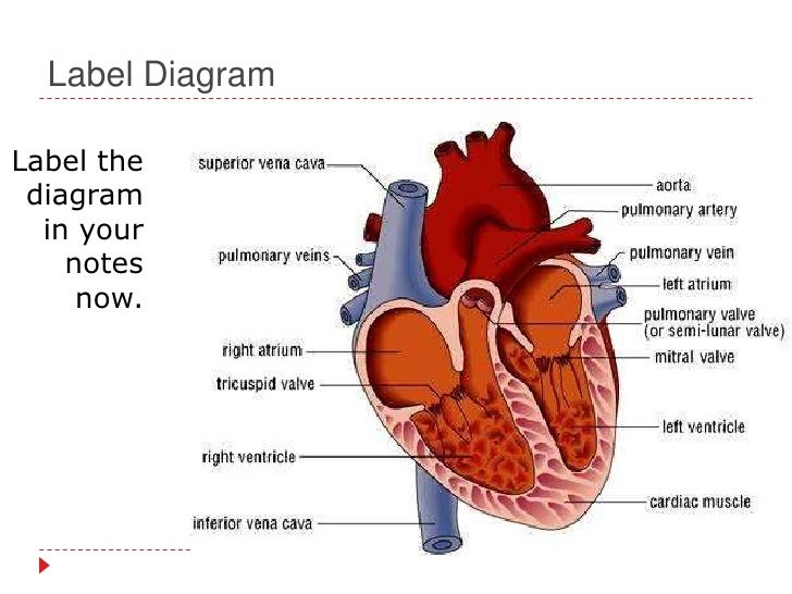 Human Cardiovascular System Diagram Labeled - Wiring Circuit •