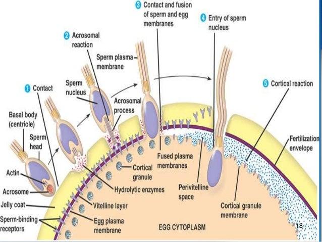 A description of human fertilization