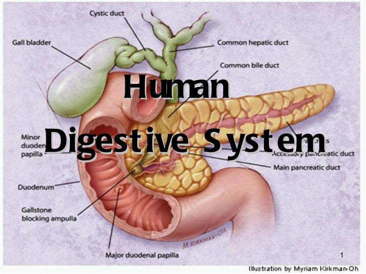 essay human digestive system The various organs that make up the digestive system are the mouth, esophagus, intestines (colon and the rectum) and finally the anus these organs are covered with a lining called the mucosa which produces digestive juices to aid in digestion.