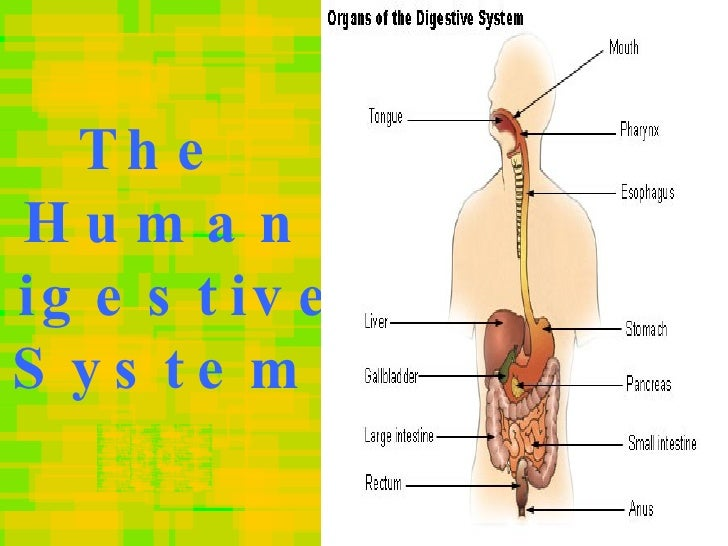 Human digestive system the human digestive system ccuart Images