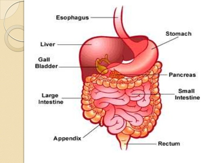 Human digestive system ccuart Images