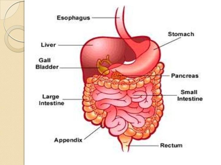 human digestive system, Human Body