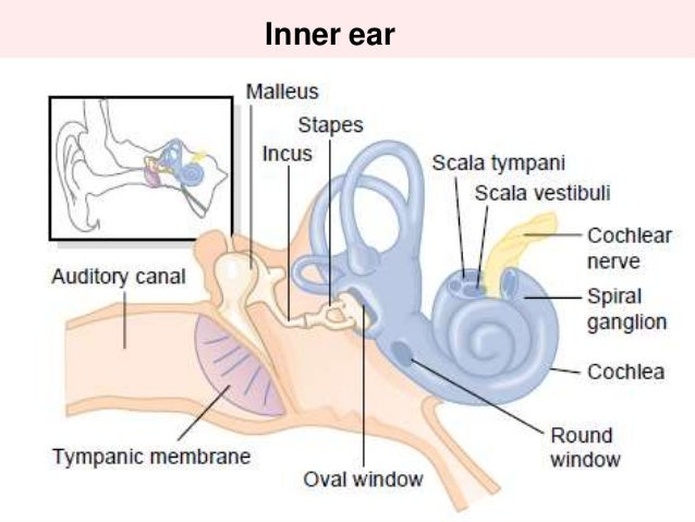 Auditory nerve fiber diagram download wiring diagrams human ear and physiology of hearing rh slideshare net ear diagram and functions auditory nerve brain ccuart Images
