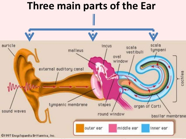 what are the main parts of the ear? | socratic, Sphenoid