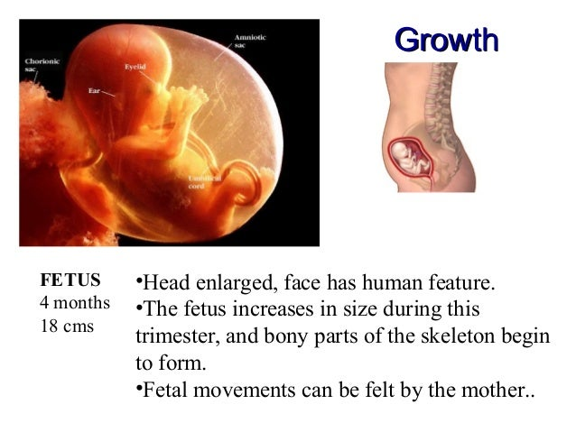 What does an embryo look like at 7 weeks 10