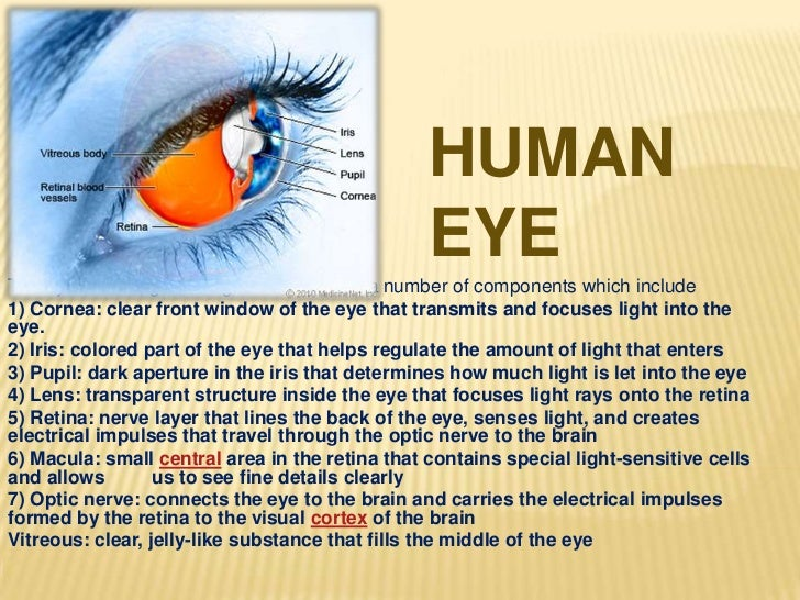 HUMAN                                                 EYEThe eye is our organ of sight. The eye has a number of components...