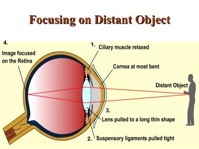 human eye 2014, Muscles