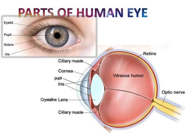 human eye and working of human eye, Muscles