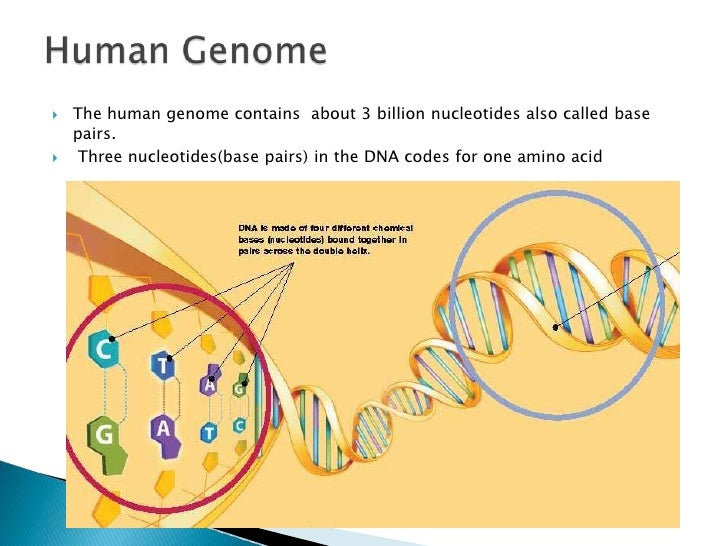 Chromosomes Genes Dna Sequencing 2  Ef 81 Bd The Human Genome Contains About 3 Billion Nucleotides Alsoed Base Pairs
