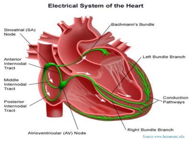 Human Heart Pdf S