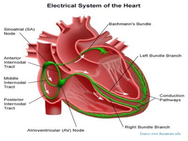 the study of human heart (pdf version), Muscles