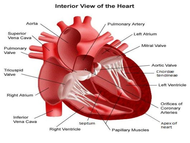 human heart (powerpoint version), Muscles