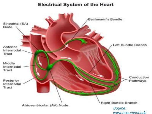 human heart (powerpoint version), Muscles