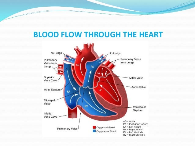 Human Heart Anatomy And Physiology