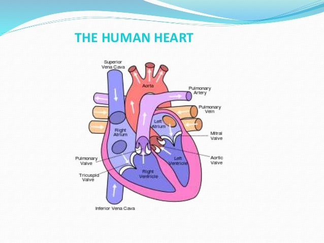 Human heart anatomy and physiology part 1 13 the human heart ccuart Image collections
