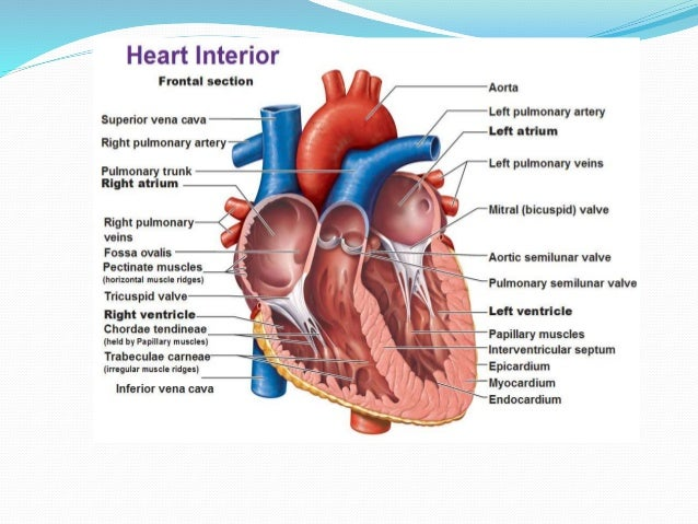 Human heart anatomy and physiology part 1 oxygenated 33 ccuart Choice Image