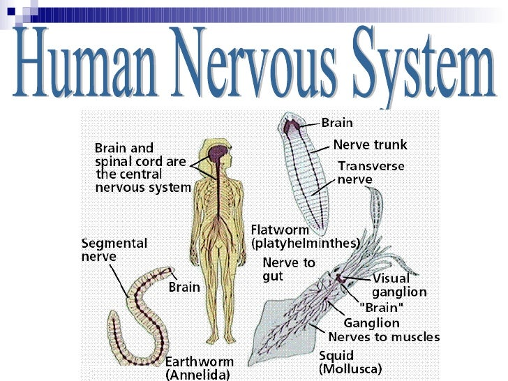 describe how neurons in the central nervous system communicate essay The nervous system is a complex collection of nerves and specialized cells known as neurons that transmit signals between different parts of the body it is essentially the body's electrical wiring structurally, the nervous system has two components: the central nervous system and the peripheral.