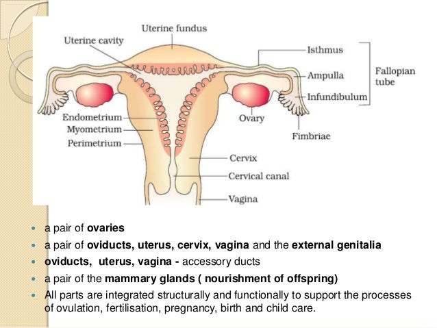 Human reproduction female reproductive system sectional view through pelvis 12 ccuart Images
