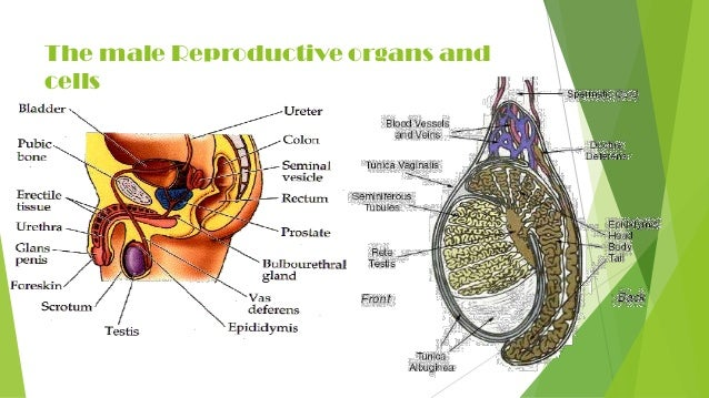 Human reproduction for grade 12 the male reproductive organs and cells ccuart Gallery