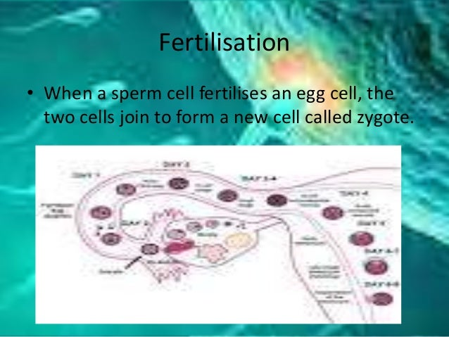 Fertilisation • When a sperm cell fertilises an egg cell, the two cells join to form a new cell called zygote.